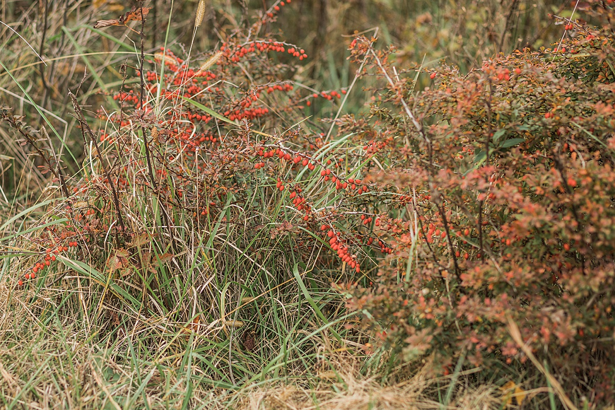 Olivine Fox - Thurmont Maryland - Fall Foliage - Catoctin Mountains - Frederick County - Red berries