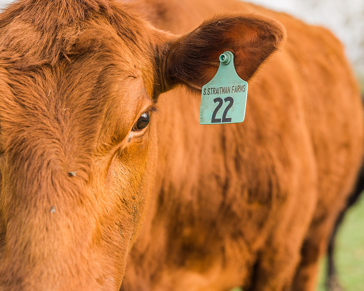 Olivine Fox - Westminster Maryland Photographer - Carroll County Maryland - Maryland Lifestyle Photographer - Frederick Maryland Photographer - Maryland Farms - Midnight Farm - Farm Lifestyle Photos - Maryland Angus Cattle