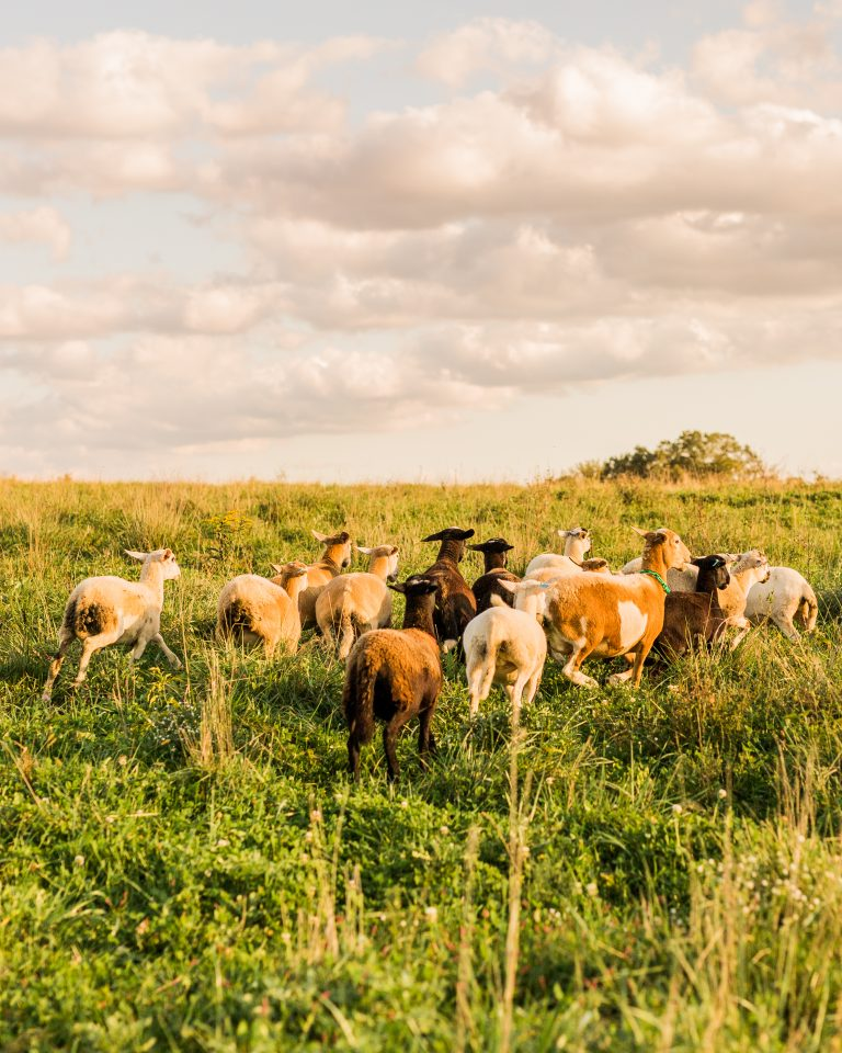 Olivine Fox-Grazy Days-Maryland Farm-Pasture Raised Beef and Lamb-Maryland Ag Photography - Maryland Lifestyle Farm Photography
